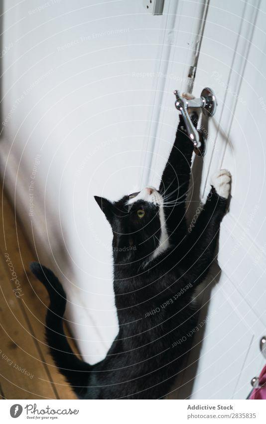 Niedliche Katze, die sich bis zum Türgriff erstreckt. niedlich heimwärts strecken handhaben Haustier Tier