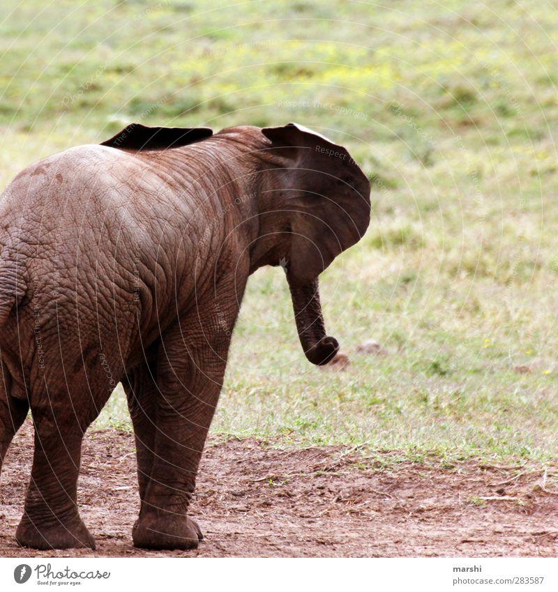 wenn ich groß bin... Tier Wildtier 1 Tierjunges braun Elefantenhaut Elefantenohren Elefantenbaby Safari Südafrika Freiheit Wildnis wild Farbfoto Außenaufnahme