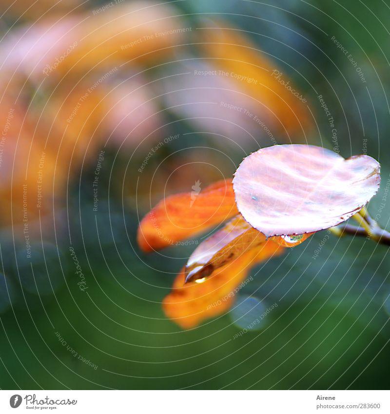 flüchtiger Augenblick Natur Pflanze Wassertropfen Herbst Wetter Regen Sträucher Blatt Grünpflanze Felsenbirne Garten festhalten hängen glänzend gold grün orange