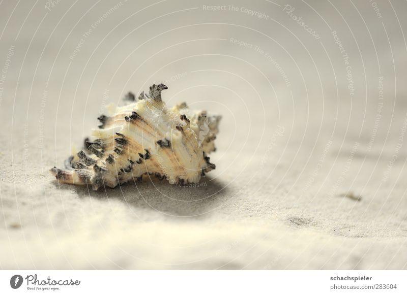 Haus zu verkaufen Sand Küste Strand Schnecke Wasserschnecken Schneckenhaus Weichtier braun gelb weiß Schale leer Farbfoto Nahaufnahme Makroaufnahme