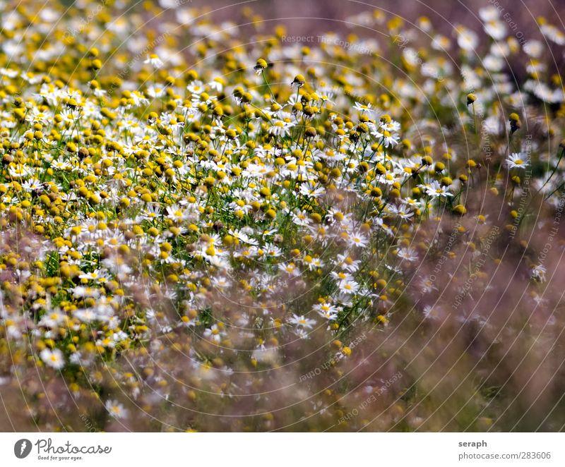 Blumenwiese Gras Grasland Wiese Margerite Kamille Kräuter & Gewürze Küchenkräuter Heilpflanzen Blühend Korbblütengewächs Gänseblümchen Blüte Sommer Feld