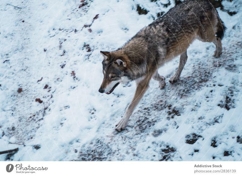 Wolf läuft auf Schnee rennen Winter Raubtier Tierwelt Säugetier Natur Hund natürlich grauer Wolf Fleischfresser Lebewesen Bewegung wild Beautyfotografie kalt