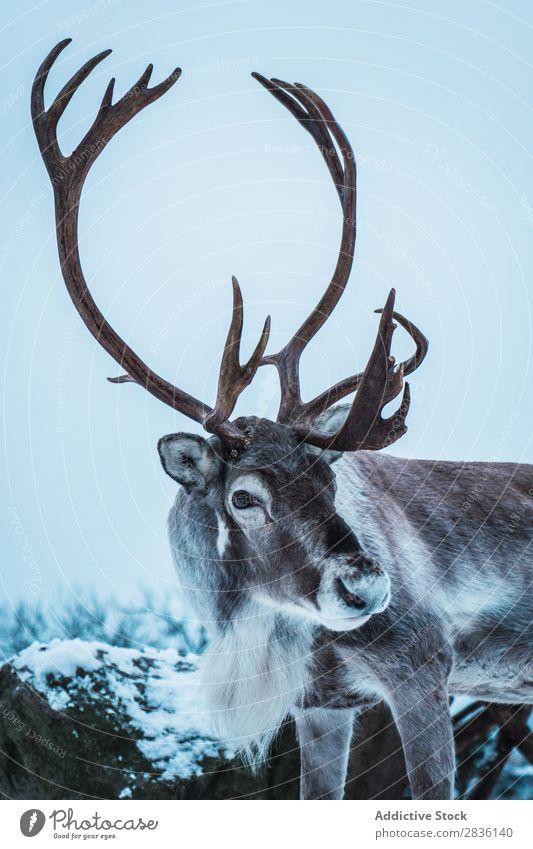 Hirsch mit großen Hörnern Hirsche Winter Natur Schnee Tier Tierwelt Wald Landschaft Säugetier Mann wild Bock kalt Pelzmantel Wildnis gehörnt Kopf Jahreszeiten