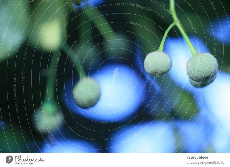 tilleul Natur blau grün schön Sommer Pflanze Baum Wald Umwelt Herbst Garten Wachstum Grünpflanze Linde