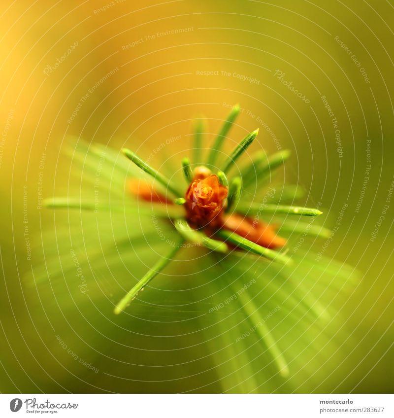 grüne nadeln Umwelt Natur Pflanze Baum Grünpflanze Wildpflanze Tannenzweig authentisch einfach klein lang nah natürlich Spitze stachelig trocken Farbe