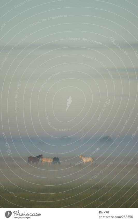 Frühaufsteher Reiten Umwelt Natur Himmel Wolken Herbst Schönes Wetter Nebel Baum Gras Wiese Weide Tier Haustier Nutztier Pferd 4 Herde beobachten Fressen stehen