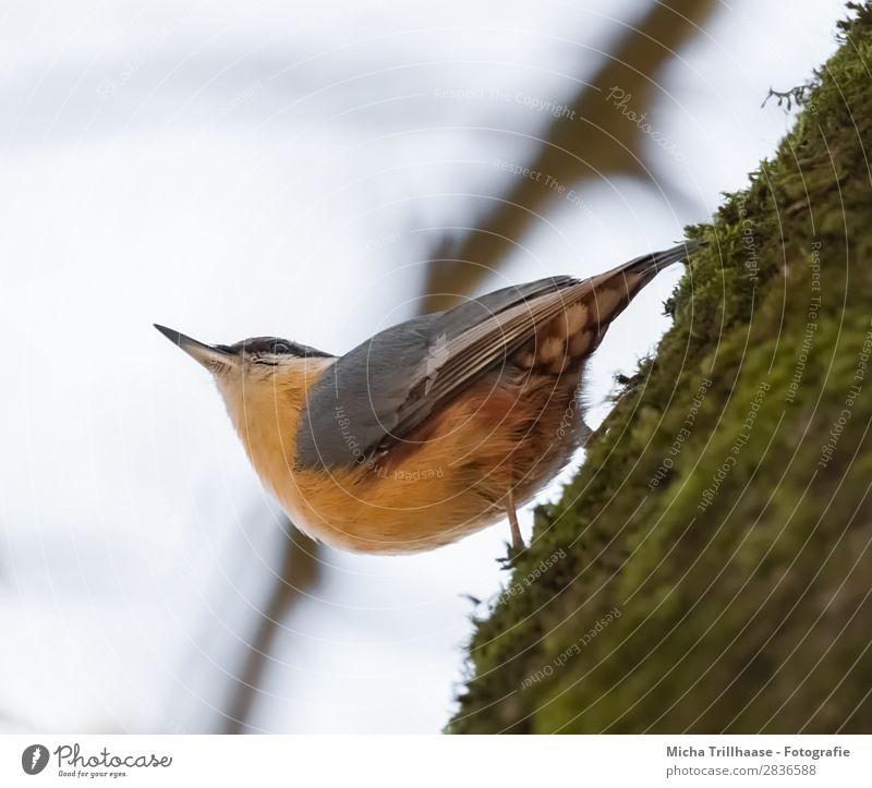 Kleiber am Baumstamm Natur Tier Himmel Sonnenlicht Schönes Wetter Moos Wildtier Vogel Tiergesicht Flügel Krallen Schnabel Feder gefiedert 1 beobachten hängen