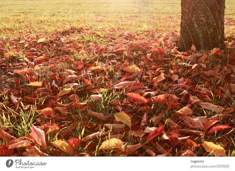 Herbstblätter Natur Pflanze Erde Klima Wetter Baum Gras Blatt Baumstamm Herbstlaub Herbstbeginn Herbstfärbung herbstlich Wiese leuchten Wärme braun gelb gold