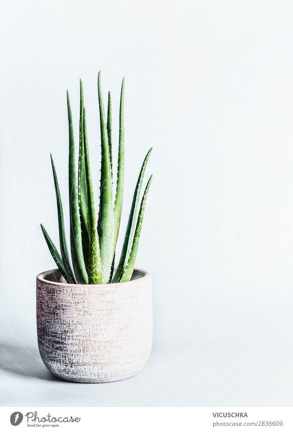 Aloe Vera Pflanze in Blumentopf Stil Design Innenarchitektur Dekoration & Verzierung Natur Topfpflanze Hintergrundbild Zimmerpflanze Farbfoto Studioaufnahme