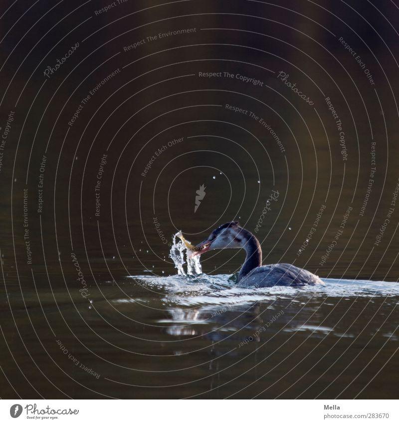 Essen fassen Umwelt Natur Tier Wasser Teich See Vogel Haubentaucher 1 fangen Fressen natürlich Appetit & Hunger Leben Fisch Farbfoto Außenaufnahme Menschenleer