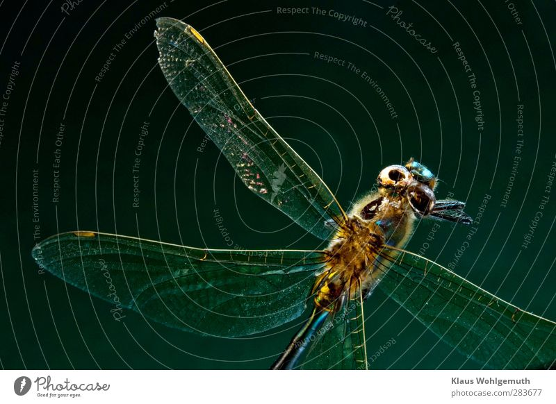 Hollow Behaarung Tier Totes Tier Flügel 1 gruselig blau gelb grün Zerstörung Libelle Libellenflügel Insekt Imago Brustkorb Kopf Farbfoto Innenaufnahme