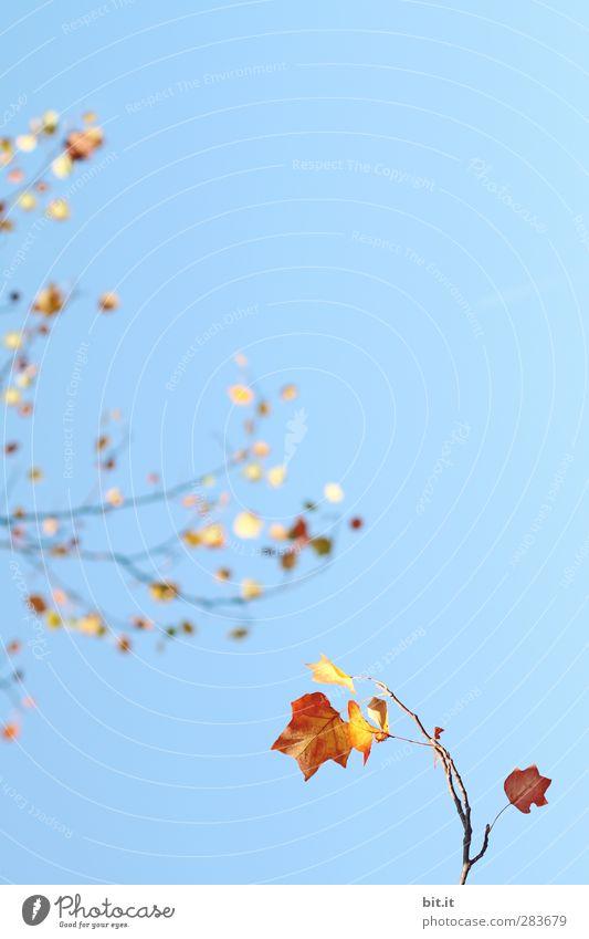 Zuzweigung Umwelt Natur Luft Himmel Wolkenloser Himmel Klima Schönes Wetter Pflanze Baum Sträucher glänzend hängen blau gelb gold Wandel & Veränderung