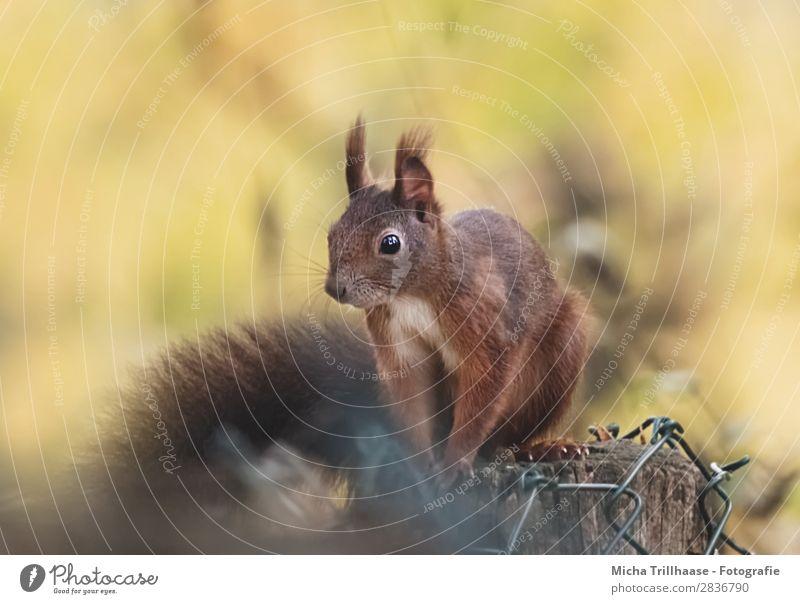 Eichhörnchen auf dem Zaunpfahl Natur Tier Sonnenlicht Schönes Wetter Wildtier Tiergesicht Fell Krallen Pfote Nagetiere Auge Ohr Nase 1 beobachten Erholung