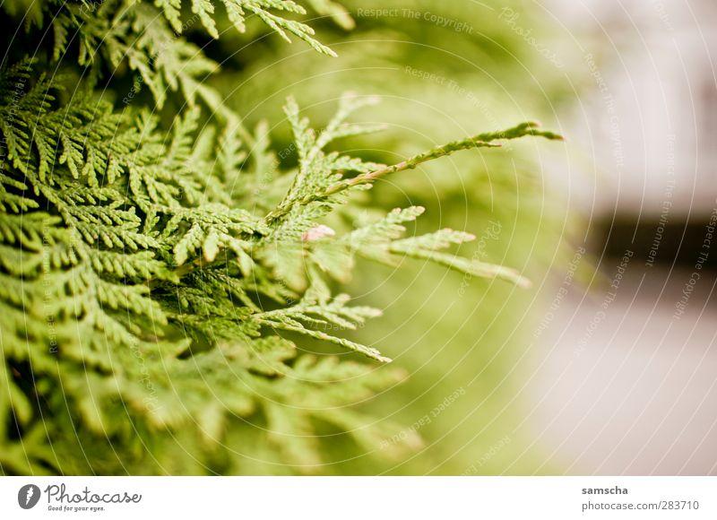 Thuja Gartenarbeit Natur Pflanze Sträucher Grünpflanze Park Lebensbaum Zypresse Hecke grün Heckenpflanze Kiefer Zierpflanze Gartenbau Gartenzaun Sichtschutz