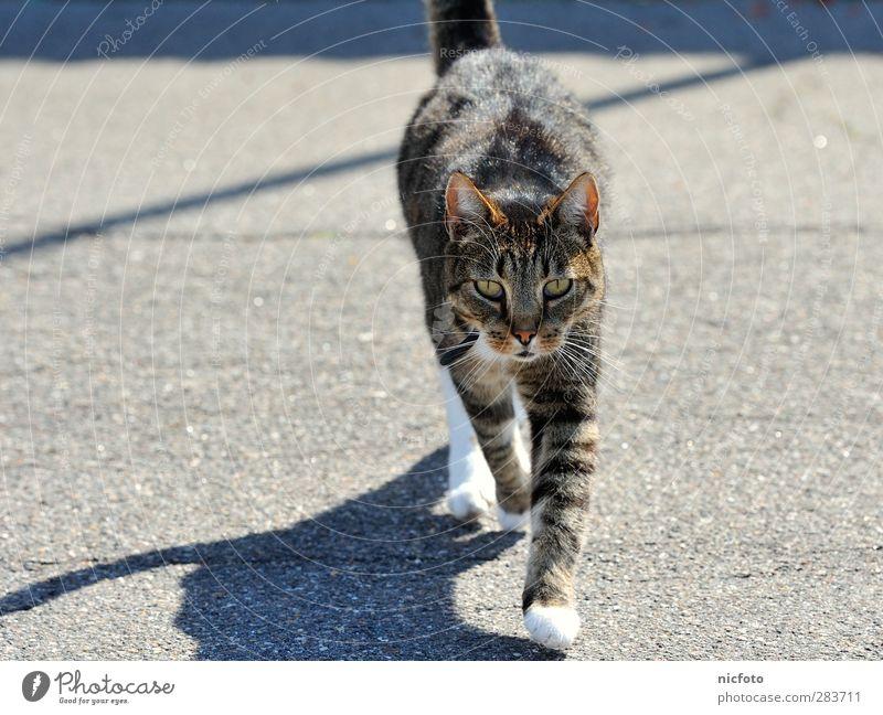 street cat Katze Sommer Tier schwarz Straße grau braun gehen natürlich ästhetisch Schönes Wetter Coolness beobachten Ziel Mut Haustier