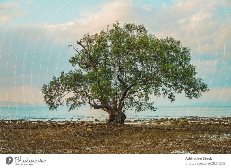 Großer grüner Baum am Meer Strand Wachstum groß Natur Himmel Sommer Landschaft Wasser Ferien & Urlaub & Reisen Phi Phi island koh Handfläche Küste Tourismus