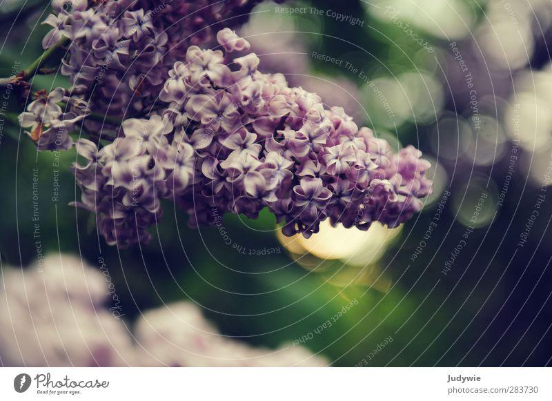 Blumen zum Geburtstag Natur grün schön Sommer Pflanze Umwelt Frühling Blüte Garten Park natürlich Wachstum ästhetisch Sträucher Idylle