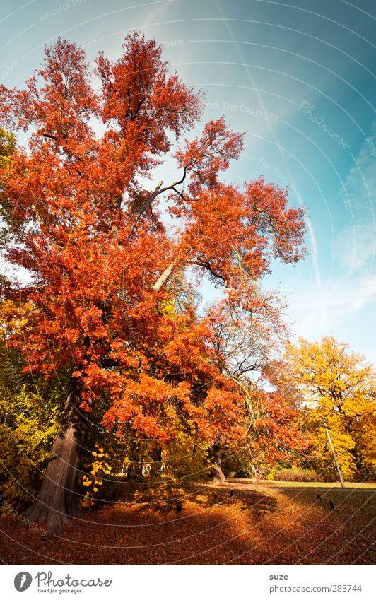 Roter Oktober Umwelt Natur Landschaft Himmel Herbst Klima Wetter Schönes Wetter Baum Park Wiese natürlich schön blau gelb rot herbstlich Herbstbeginn Herbstlaub