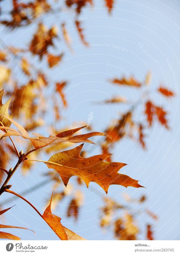 und die blätter winken leis im wind... Wolkenloser Himmel Herbst Schönes Wetter Baum Blatt Zweig Eichenblatt Roteiche frei blau braun gelb orange herbstlich