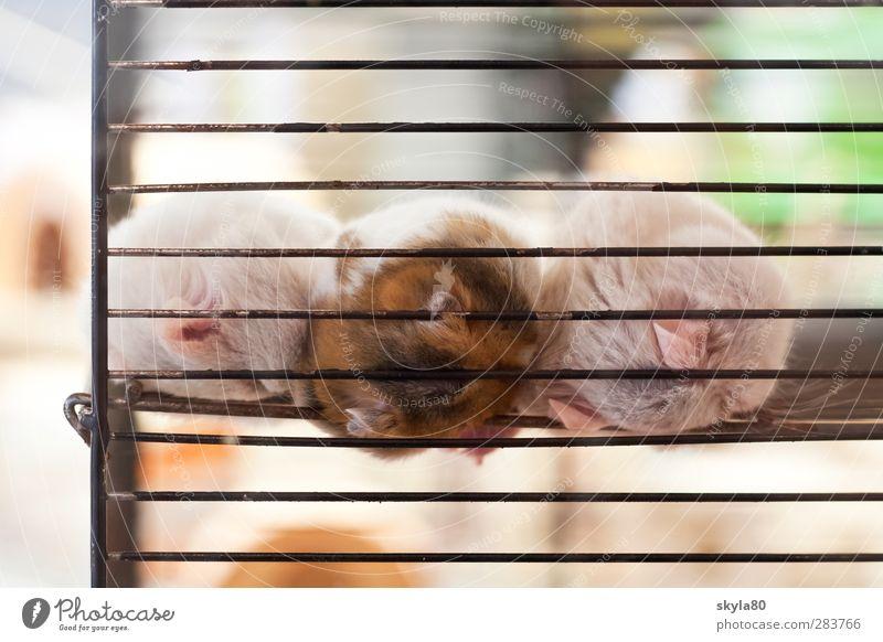 Lebensraum Zoo Tier Fell Haustier liegen schlafen träumen Traurigkeit verkaufen nah trist Trauer Müdigkeit Hamster Tierhandlung Käfig Kuscheln gefangen leer