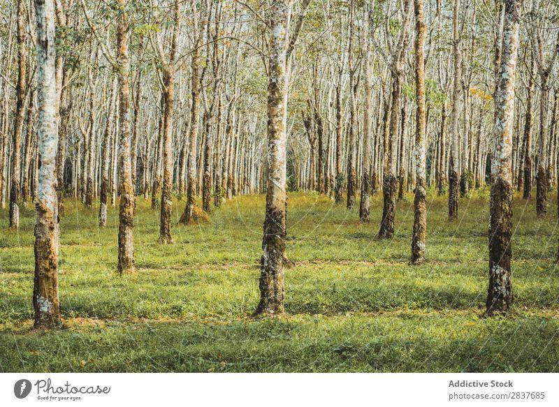 Baumreihen im Wald grün Frühling Reihen Natur Jahreszeiten Umwelt schön Landschaft Perspektive Licht Sonnenlicht natürlich Park Pflanze Szene Beautyfotografie