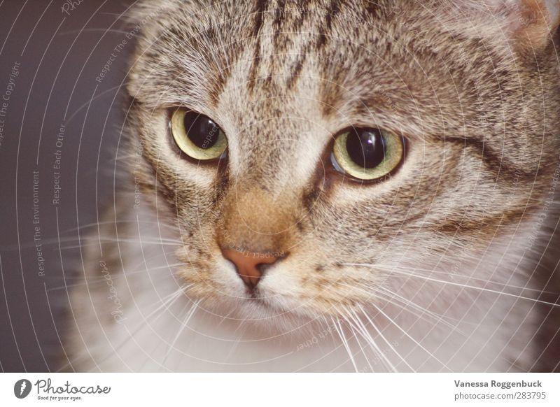 konzentrierte Katze/Kater ! schön weiß Tier Erotik Tierjunges Glück klein lustig braun außergewöhnlich Kraft wild Coolness Macht weich