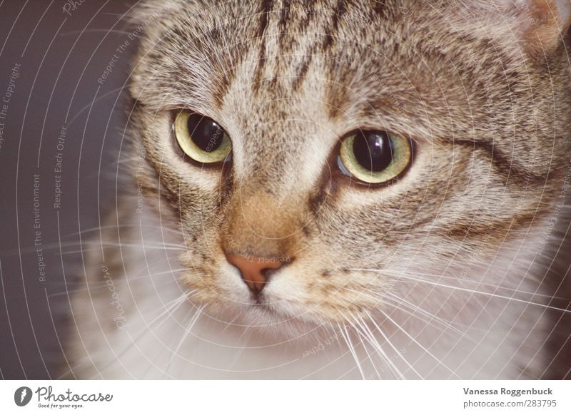 konzentrierte Katze/Kater ! Tier Haustier Tiergesicht Fell 1 Tierjunges Blick außergewöhnlich Coolness dick Glück gruselig schön klein lustig muskulös Erotik