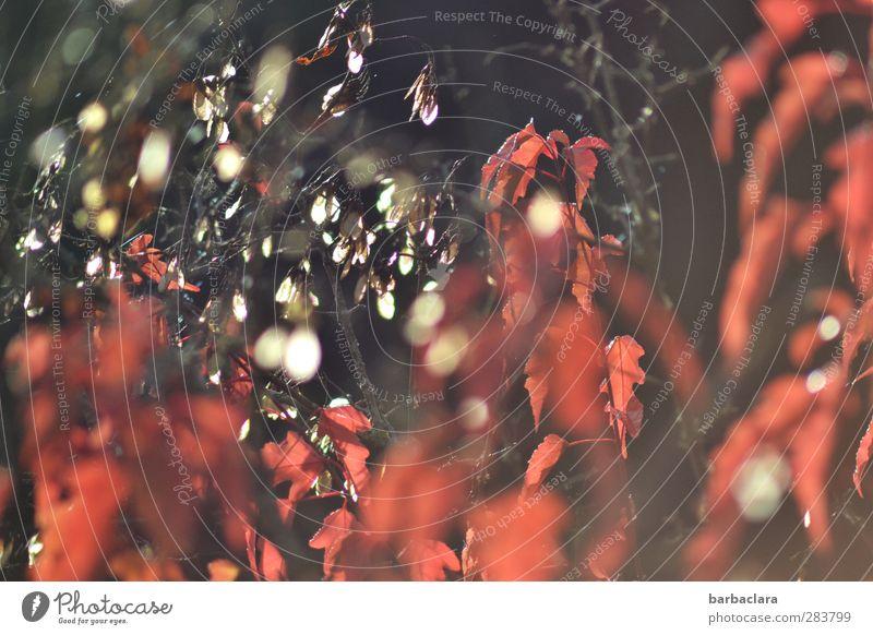 Herbstfeuer Natur Pflanze Schönes Wetter Baum Sträucher Blatt Frucht Samen leuchten ästhetisch außergewöhnlich frisch viele wild rot weiß bizarr exotisch Farbe