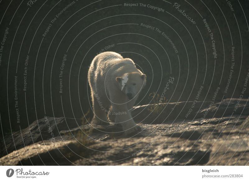 Eisbär Zoo Tier Wildtier 1 laufen groß braun weiß Farbfoto Gedeckte Farben Außenaufnahme Menschenleer Textfreiraum oben Tag