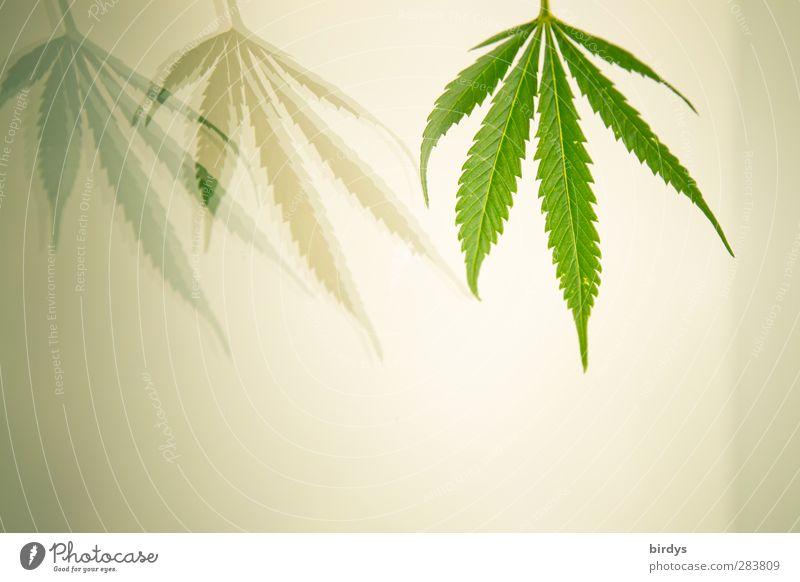 Grasgeflüster Pflanze Hanf Blatt Grünpflanze Cannabisblatt ästhetisch außergewöhnlich frisch hell Sauberkeit schön grün weiß Erholung Gesellschaft (Soziologie)