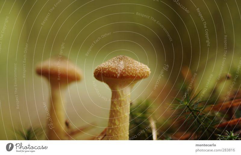 die jagd geht weiter.... Umwelt Natur Pflanze Herbst Pilz Wald Duft dünn authentisch einfach klein natürlich trocken wild braun Lebensfreude Wachstum Farbfoto