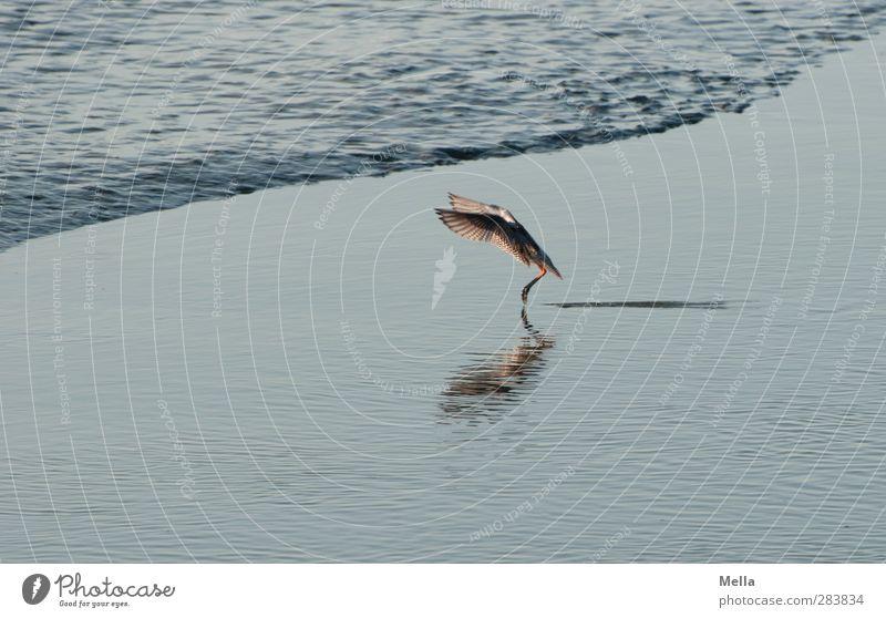 Landebahn erreicht Umwelt Natur Tier Wasser Küste Nordsee Vogel Flügel 1 Bewegung fliegen klein natürlich blau Landen Farbfoto Außenaufnahme Menschenleer Tag