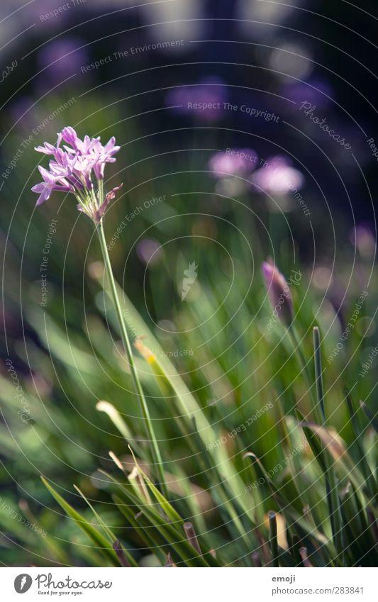 Bienenparadies Umwelt Natur Pflanze Schönes Wetter Blume Gras natürlich grün violett Blüte Frühling Farbfoto Außenaufnahme Nahaufnahme Detailaufnahme