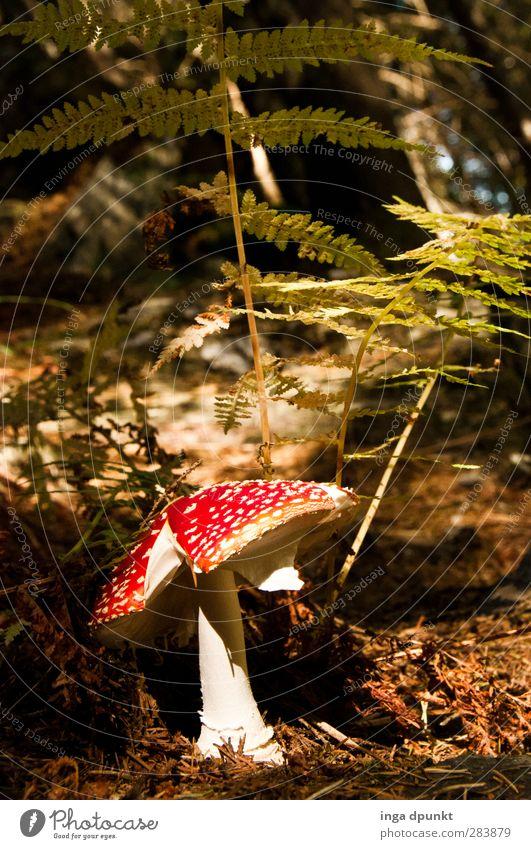 Rotkäppchen Natur Pflanze Tier Wald Umwelt Herbst Schönes Wetter entdecken Pilz Umweltschutz Märchen Gift Farn Waldboden Waldlichtung Märchenwald