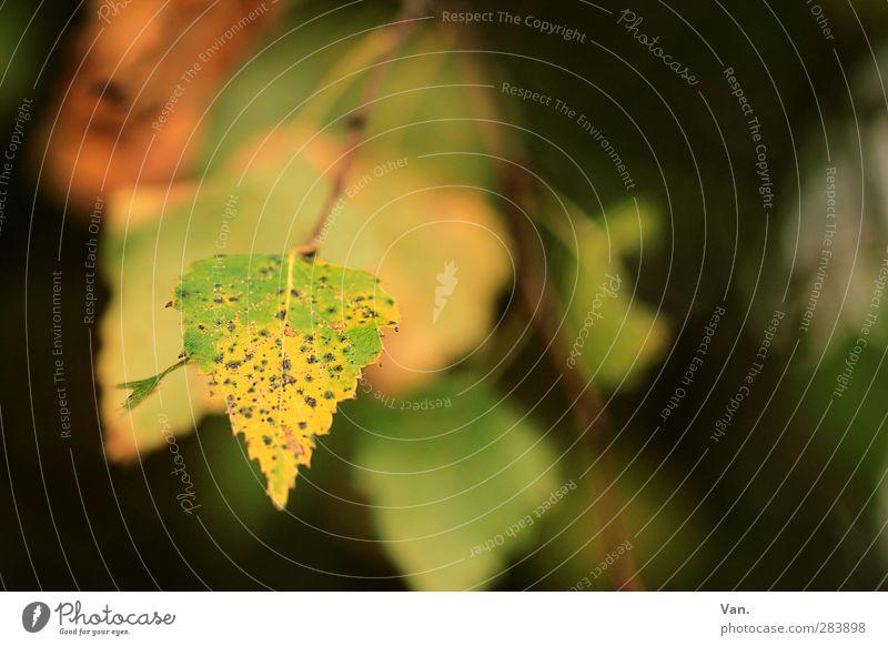 Herbstlich Willkommen! Natur Pflanze grün Blatt gelb Garten Zweig Birke
