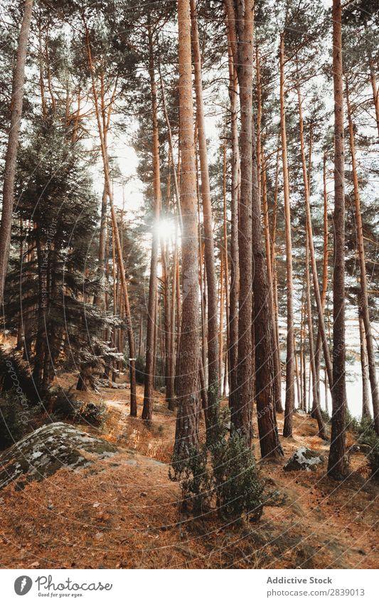 Wald mit hohen immergrünen Bäumen Immergrün Baum Natur Kiefer nadelhaltig Umwelt Landschaft natürlich Tanne Pflanze Jahreszeiten Nadel Beautyfotografie Aussicht