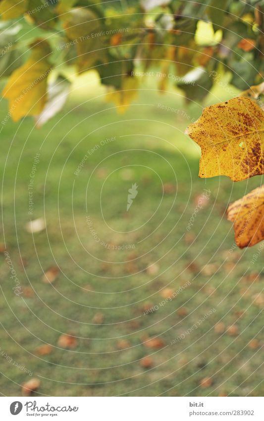 mein Park Platz Umwelt Natur Landschaft Herbst Klima Pflanze Baum Grünpflanze hängen trocken gelb gold grün Vergänglichkeit Herbstlaub herbstlich Herbstfärbung