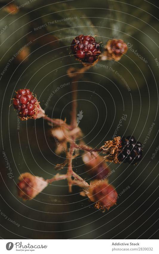 Beeren aus der Nähe im Wald wild rot schwarz Frucht Lebensmittel Natur Gesundheit organisch frisch reif natürlich Sommer grün Blatt süß Vitamin saftig Dessert