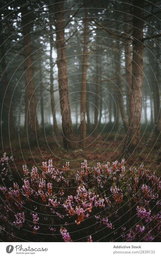 Im Wald wachsende Blumen nadelhaltig Natur natürlich Landschaft Außenaufnahme Szene Sträucher Nebel geheimnisvoll Umwelt Blüte Wachstum Immergrün Pflanze