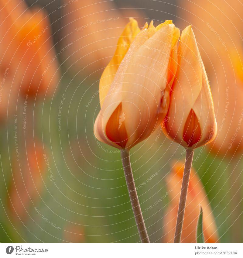Zwei orange Tulpen Natur Pflanze Farbe Blume Erholung ruhig Leben Wärme Blüte Frühling Garten Zufriedenheit Dekoration & Verzierung Park Blühend