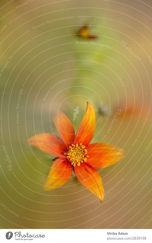 Oranger Blütentraum. Natur Sommer Pflanze grün Blume Erholung ruhig Herbst Feste & Feiern Garten orange Design Zufriedenheit Dekoration & Verzierung Romantik