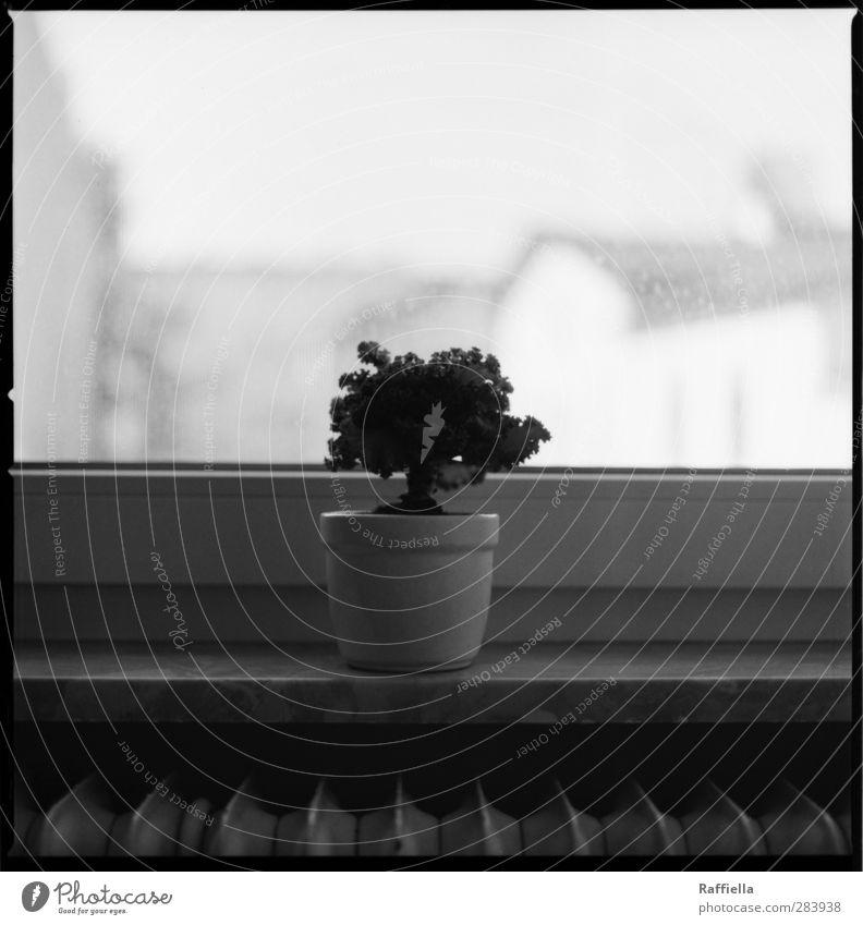 Helmut. Pflanze Einsamkeit Haus Fenster einzeln einfach Aussicht Heizung Blumentopf Fensterblick Fensterbrett Fensterrahmen Kohl Zierkohl