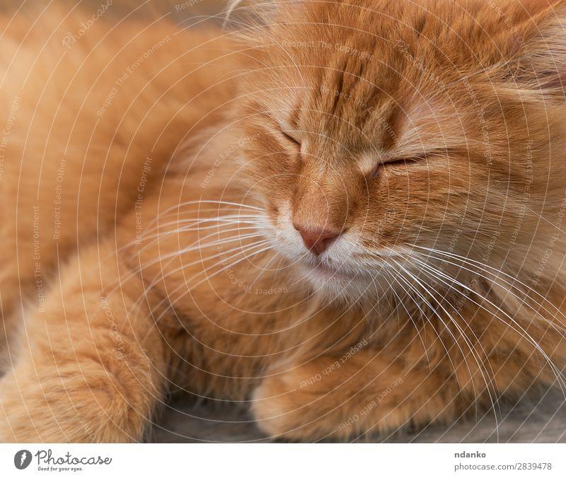 rote erwachsene Katze schläft zusammengerollt Freude Erholung Sonne Tier Haustier 1 schlafen lustig niedlich braun gelb Gelassenheit orange heimisch fluffig