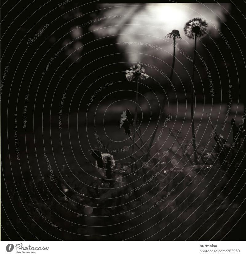 Dark Park Kunst Natur Pflanze Tier Sommer Wiese entdecken ästhetisch bedrohlich dunkel trashig Gefühle Stimmung Löwenzahn Low Key Grafik u. Illustration