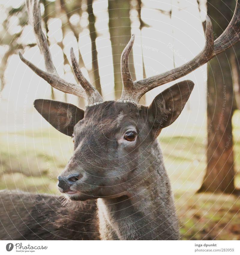 Hirschlein deck dich Umwelt Natur Tier Wildtier Tiergesicht 1 Umweltschutz Hirsche Säugetier hirschgeweih Horn Wald Reh Jagdrevier Deutschland Damwild Farbfoto