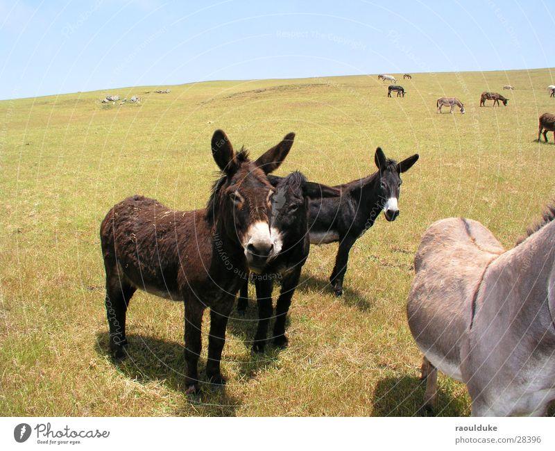 Was guggst Du! Amerika Muli Tier Wiese Hügel Weide Natur Esel