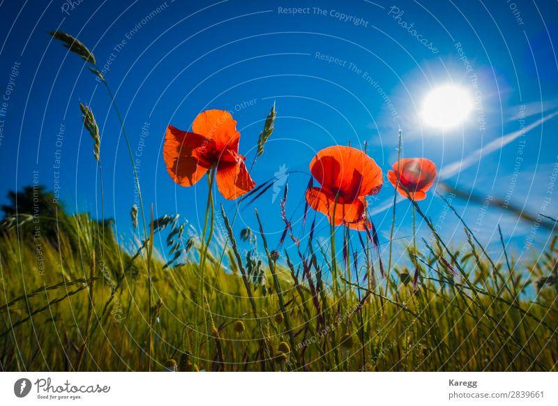Rote Mohnblumen im Kornfeld Sommer Natur Pflanze springen Hintergrundbild planen himmelblau Himmel rot Sonne Sonnenlicht Sonnenstrahlen Getreide Getreideernte