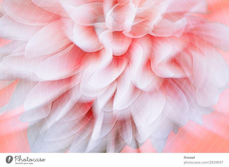 Dahlien in Korallenfarbe Hintergrund Natur Pflanze Frühling Blume Blüte Dorf authentisch außergewöhnlich schön einzigartig natürlich niedlich rosa weiß