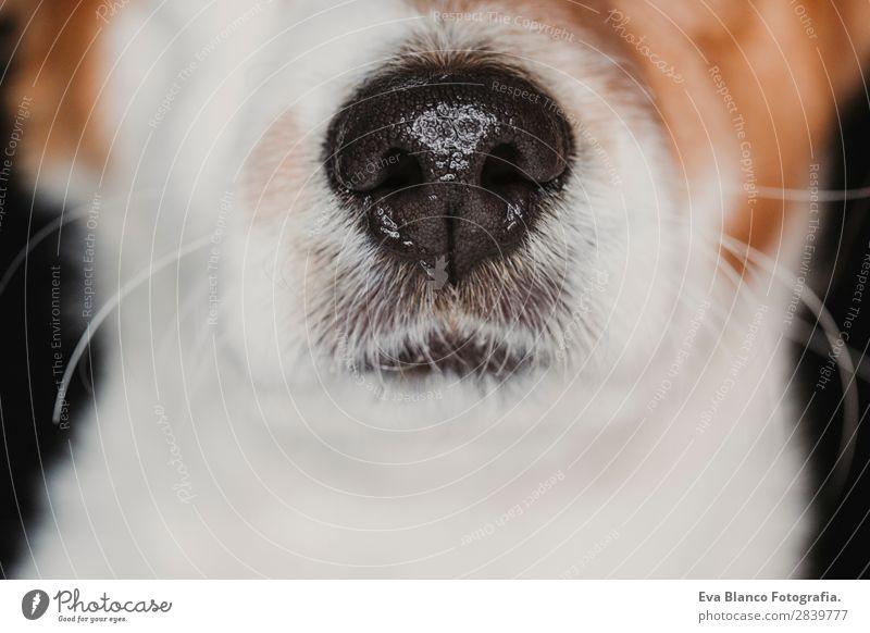 Nahaufnahme einer Hundeschnauze. braunes Fell. Makroaufnahme schön Gesicht Tier Pelzmantel Haustier Liebe schlafen klein nass Neugier niedlich schwarz weiß