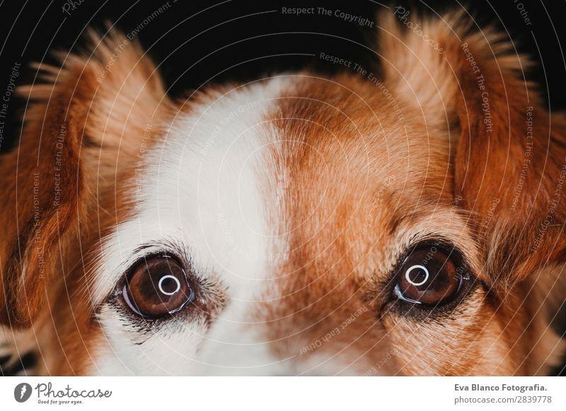 Nahaufnahme Portrait eines Hundes Augen mit LED-Ringreflexion schön Gesicht Tier Pelzmantel Haustier Liebe schlafen klein nass Neugier niedlich braun schwarz